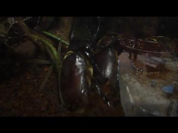 カブトムシの交尾.JPG