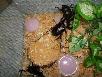 羽化したカブトムシ成虫.JPG